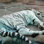 Biały tygrys akurat tego dnia był śpiący