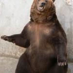 A tak żebrze niedźwiedź brunatny